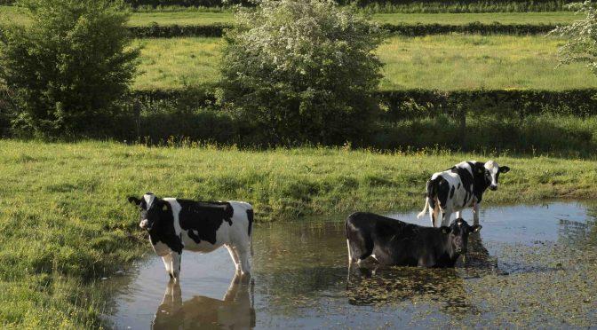 Phytogene Futtermittelzusätze vermindern Hitzestress bei Tieren